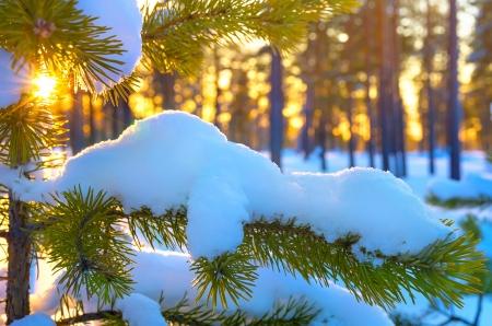 arbol de pino: Rama de pino en la puesta del sol de invierno la nieve en el bosque Foto de archivo