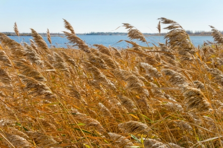 scrub grass: Reed in the strong wind.