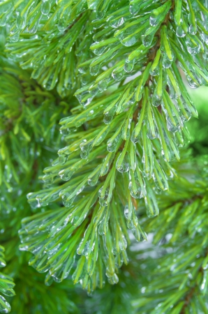 cedar tree: The branch of a Christmas tree covered with ice