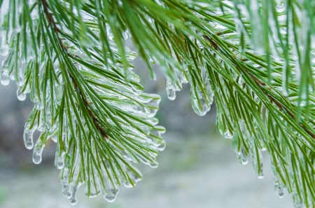 hoar frost: The branch of a Christmas tree covered with ice