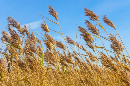 Reed in bright weather, the wind. photo