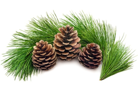 pine three: Three cones with green branches on a white background Stock Photo