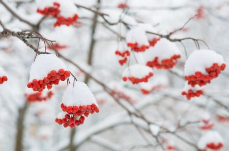 rowan tree: Rowan tree in the snow