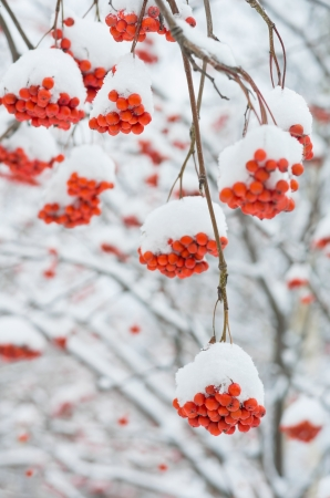 frost covered: Rowan tree in the snow