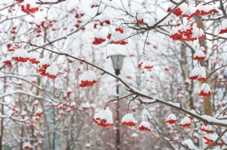 ashes: Bunches of rowan in the snow Stock Photo