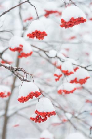 eberesche: Rowan Baum im Schnee