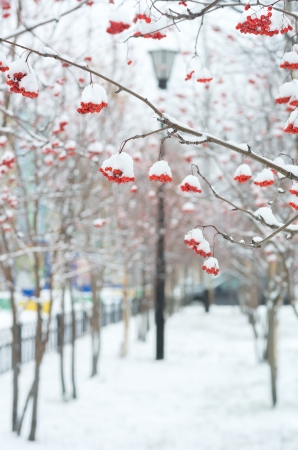 Bunches of rowan in the snow photo