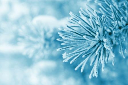 霜で覆われた松の枝 写真素材