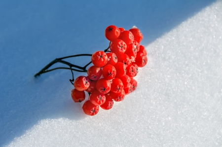 Bunch of rowan lies on snow photo