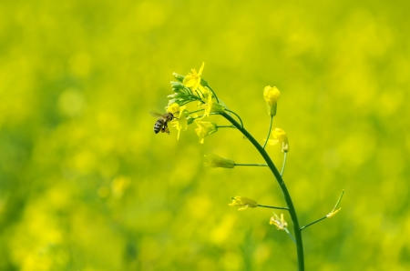 mustard field: The bee collects honey on a rape flower