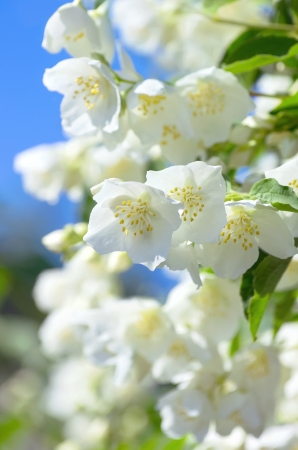 Blooming jasmine Stock Photo - 16849162