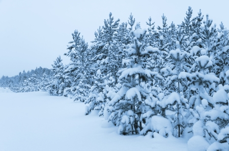 Snowy forest  Stock Photo - 16882577