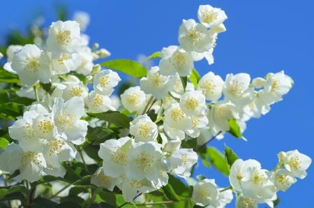 Blooming jasmine Stock Photo - 16917438
