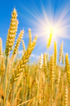 Mature ears of wheat Stock Photo - 16934974