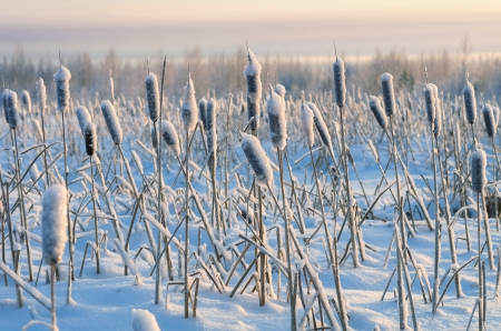 Snowy winter evening cattail photo