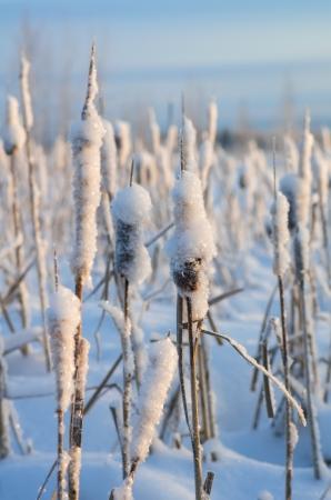 Snowy winter evening cattail Stock Photo - 16989418