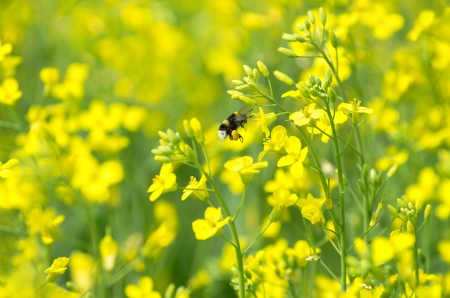 mustard field: Bumblebee collects nectar on a flowering field  Stock Photo