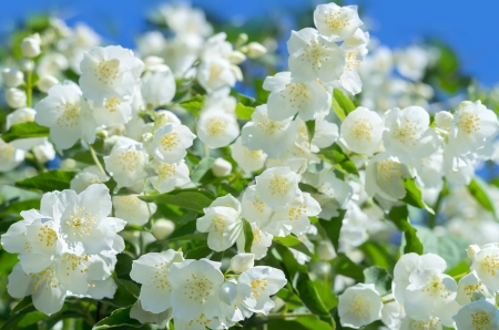 Background of blooming jasmine Stock Photo - 17040577