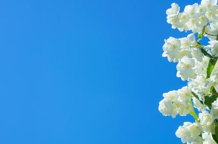 Background of blooming jasmine Stock Photo - 17040576