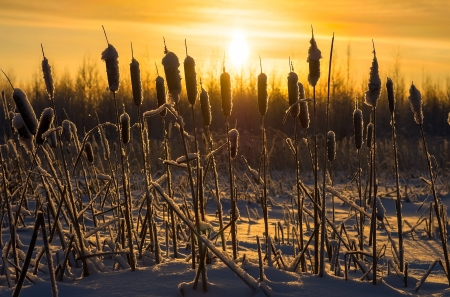 Snowy cattails at sunset  photo