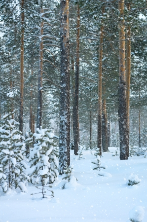 Snowfall in the coniferous forest photo