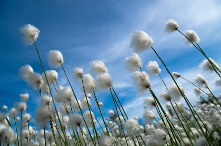 marsh plant: Flowering cotton grass on a background of blue sky Stock Photo
