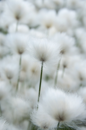 marsh plant: Cotton grass close-up
