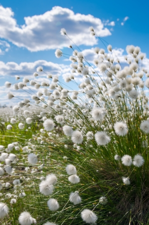 cotton wool: Flowering cotton grass on a background of blue sky Stock Photo