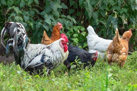 緑の草原の上を歩いての鶏の群れ。 写真素材