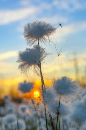 cottonwool: Cotton grass on a background of the sunset sky