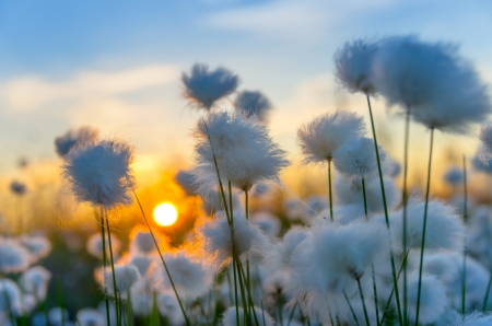 Cotton grass on a of the sunset sky