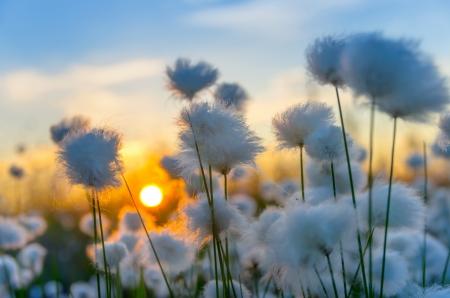 Bawełna trawa na zachód słońca z nieba