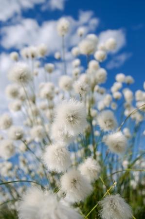 cotton wool: Flowering cotton grass of blue sky