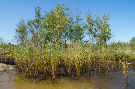 oiled: Oiled reeds after the oil spill Stock Photo