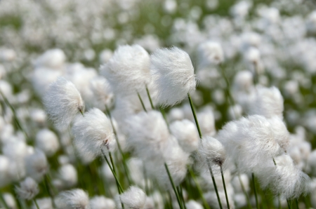 marsh plant: Cotton Grass  Windy weather