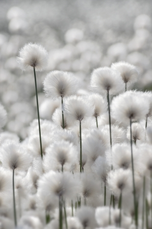 marsh plant: Flowering Cotton Grass