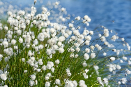 tall grass: Flowering Cotton Grass on a Background of Water