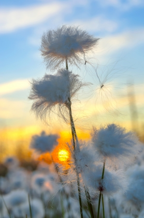 marsh plant: Cotton grass on a background of the sunset sky