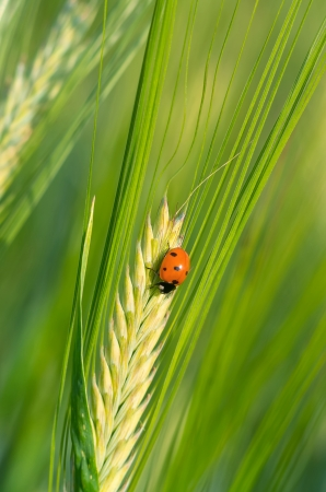 Ladybird on a green barley spikelet photo
