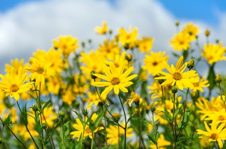 Flowering Jerusalem artichoke on a background of clouds photo