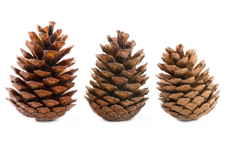 pine three: Conifer cones on a white background
