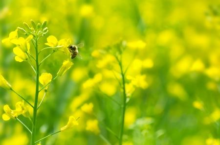 miel de abeja: La abeja recoge la miel en una flor de la violación