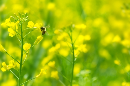 honey bee: The bee collects honey on a rape flower