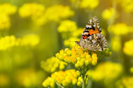 Painted Lady butterfly (Vanessa cardui) on a flowering immortelle
