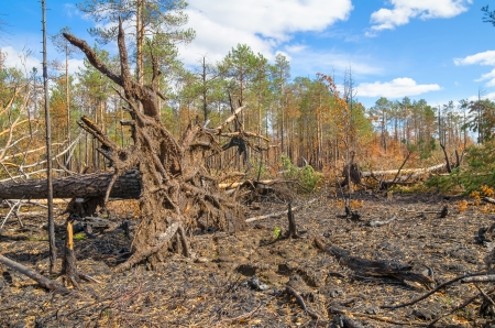 After a fire in the coniferous forest photo