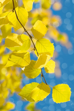 Bright autumn leaves of birch Stock Photo - 24842567