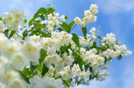 咲くジャスミン