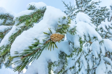 Pine cone on a snowy branch of a coniferous tree photo