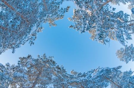 Snowy pine forest on the sky background photo