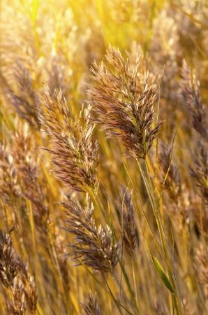 scrub grass: Reeds in the sunlight